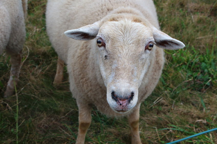 Attacked by 'some sort of animal': Police look into bizarre sheep deaths in Scotland