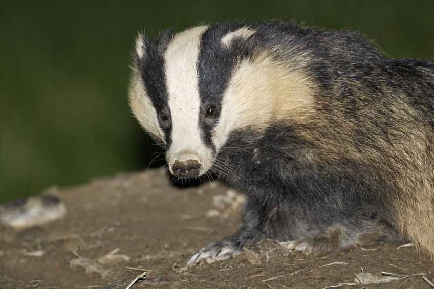 Welsh farmer who received threatening calls cleared over badger baiting links