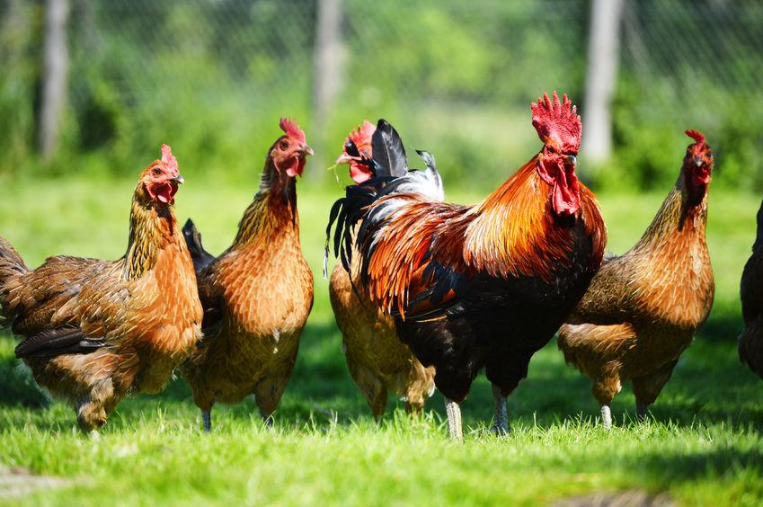 New chicken immune cell increases susceptibility to Marek's disease