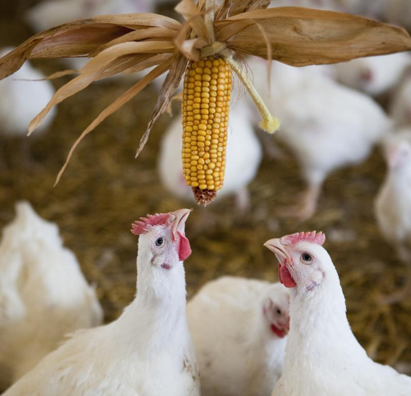 Marks and Spencer commits to improving chicken welfare in new pledge