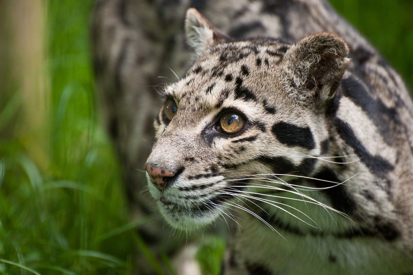 Sheep farmer captures escaped leopard roaming countryside for one week