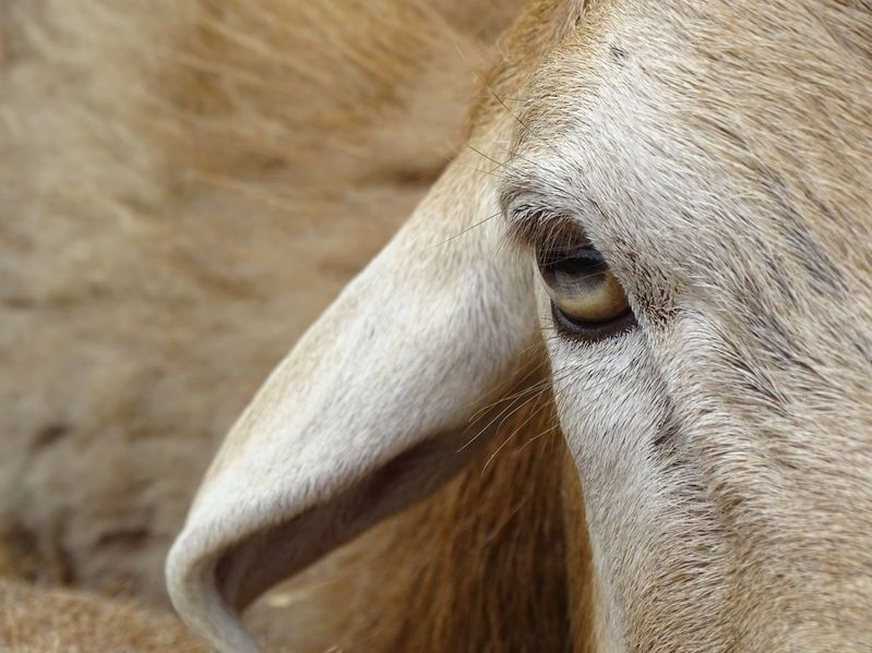 Smart device can automatically detect sheep lameness