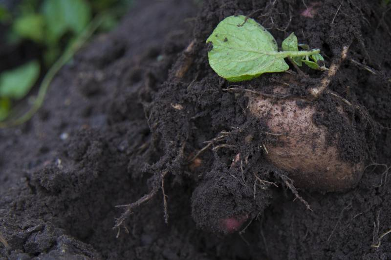 The project aims to improve forecasting of the UK's most important potato pest - potato cyst nematodes