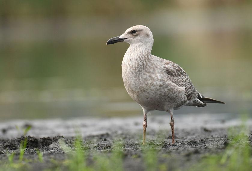 Gulls risk spreading bird flu as six sites now test positive throughout England