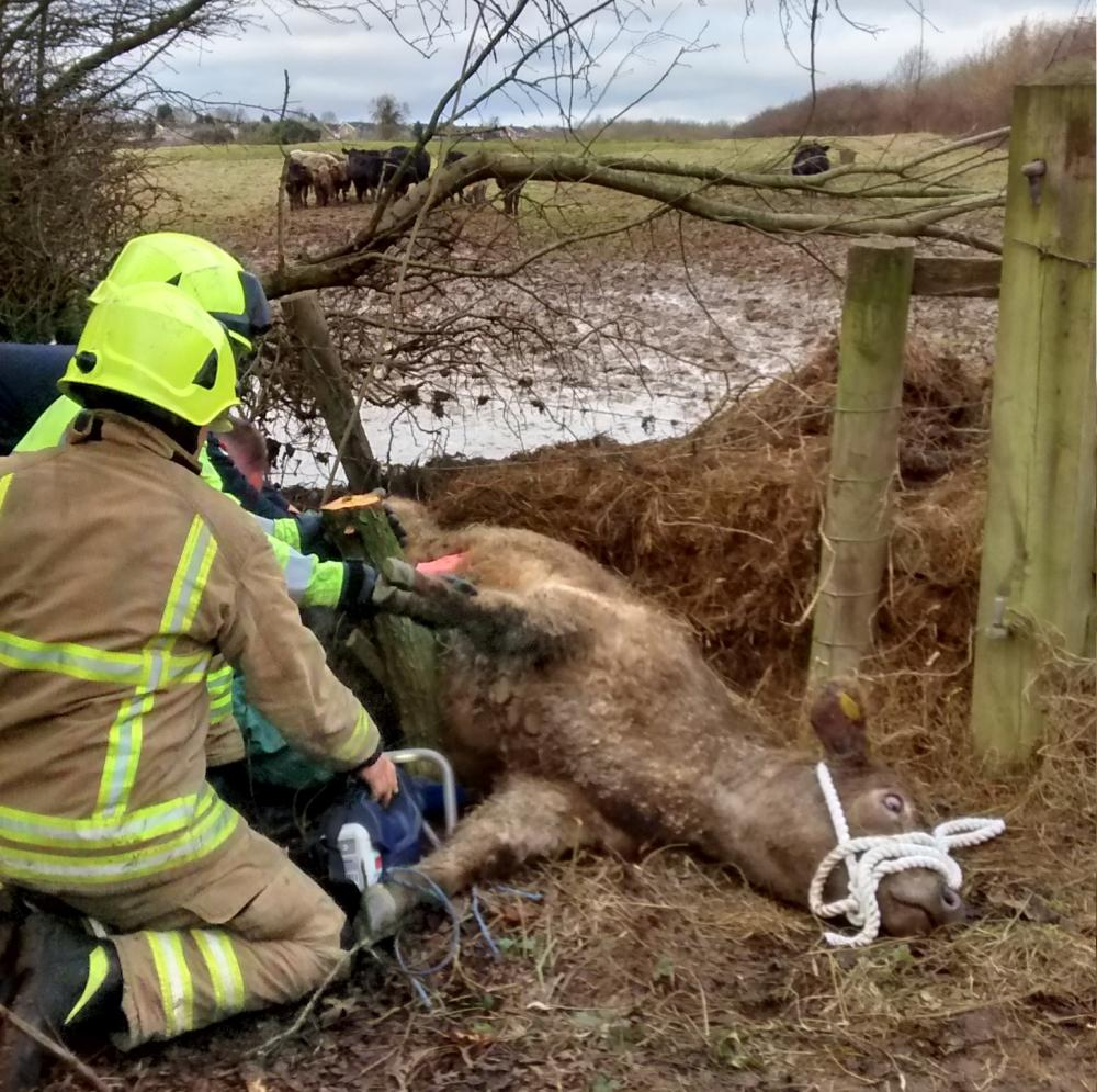 Rescuers free cow stuck between fence and trees