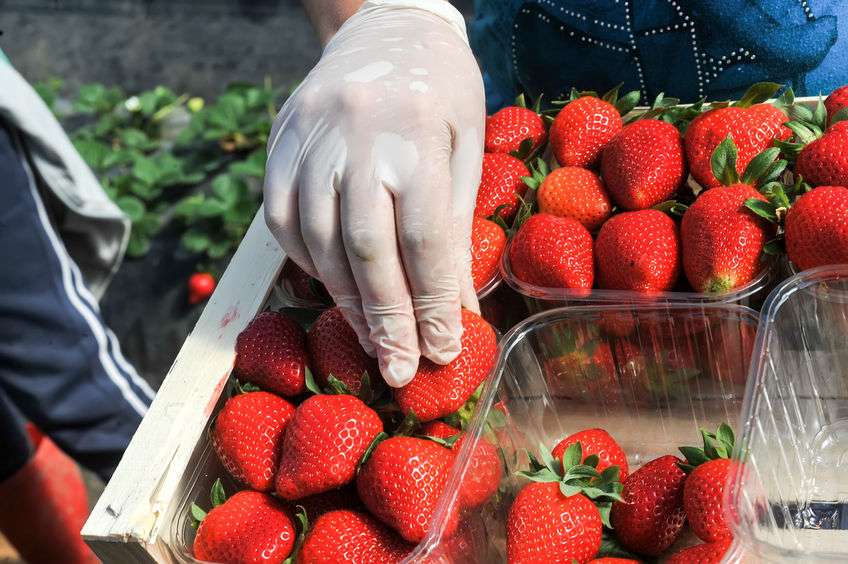 Experiment shows EU migrants ten times faster at picking crops than young Brits
