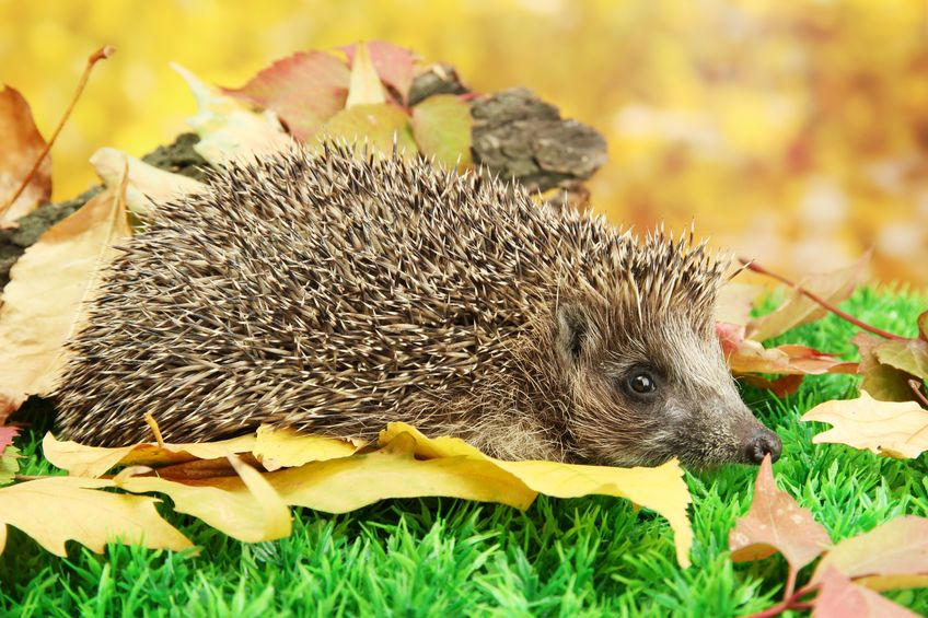 Farmers can play 'vital role' in protecting British hedgehog