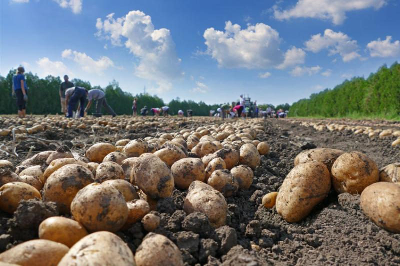 British potato stocks up 23 percent on previous season