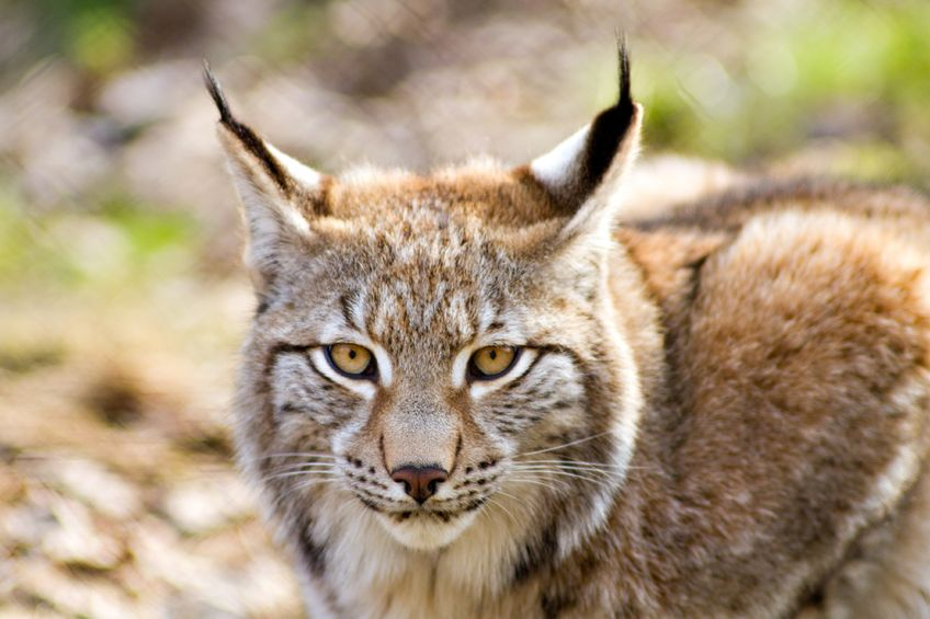 Reintroduction of lynx will happen 'over my dead body', Scottish minister says