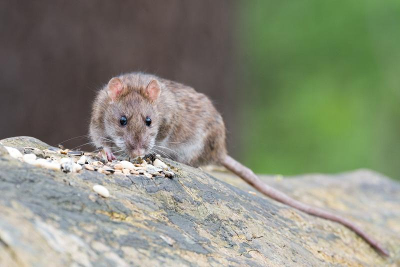 Rat populations need to be controlled particularly around farm buildings and other sites where an artificial food source is available
