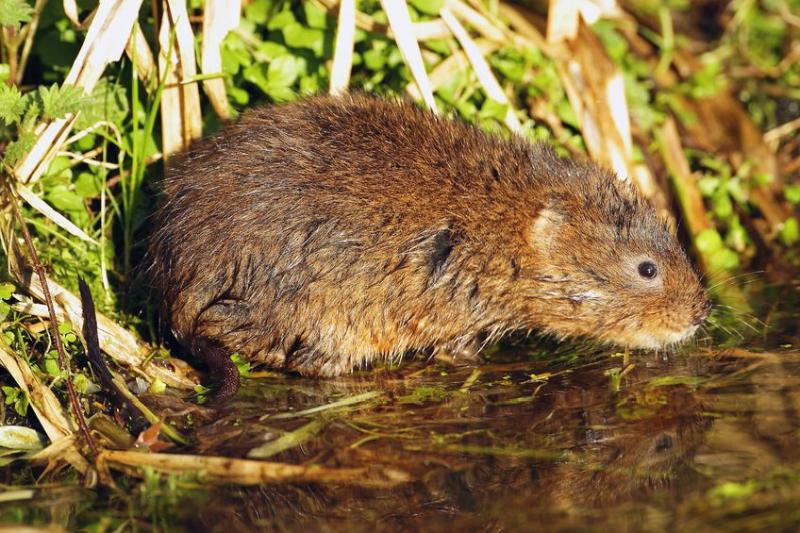 Farmers urged to manage river bank habitats to help declining water vole