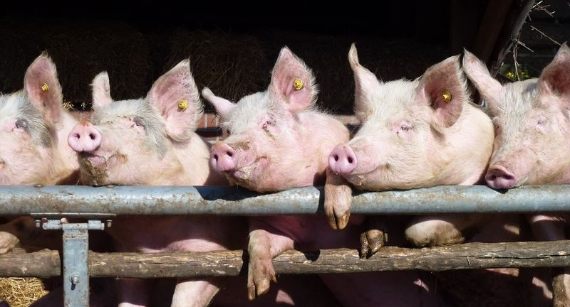 New study explores 'positive farm animal welfare' which could benefit farmers