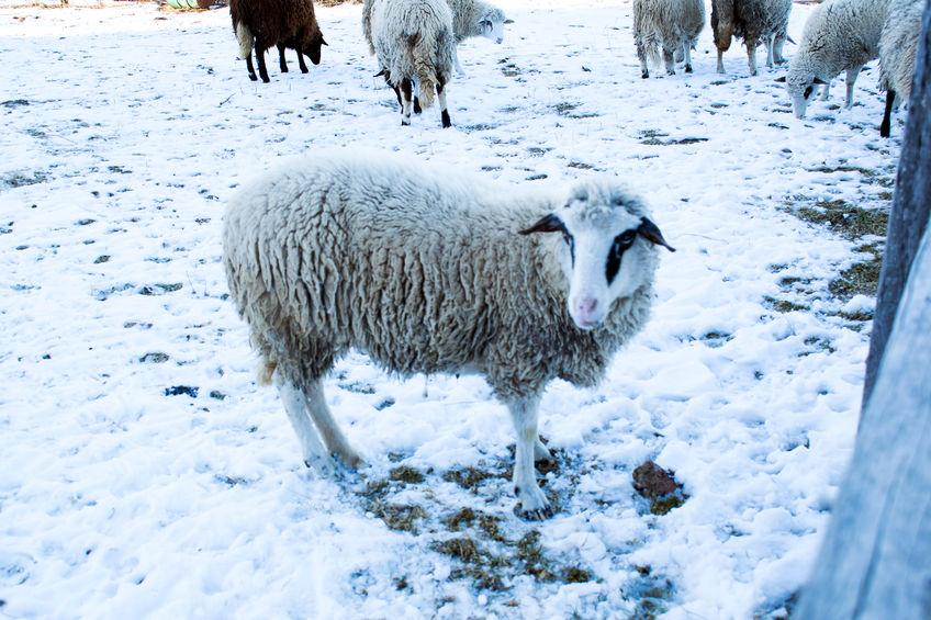 'Worst in living memory': Hundreds of livestock dead due to recent weather