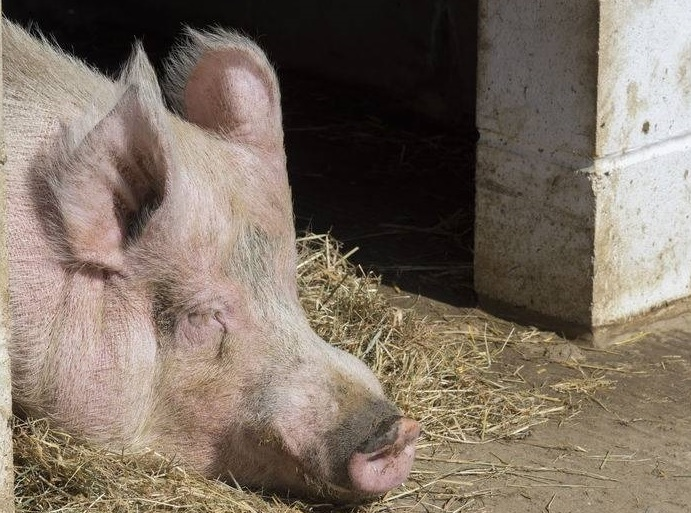 New environmental permit charges will add 'unjustified costs' for pig farmers
