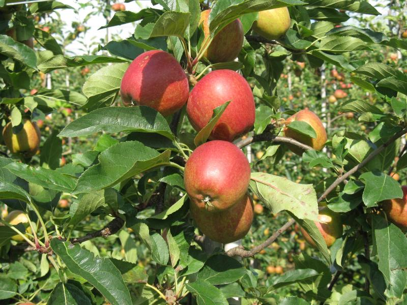 Production of Gala apples in the UK doubled from 2009 to 2016, from around 30,000 tonnes to 65,000 tonnes