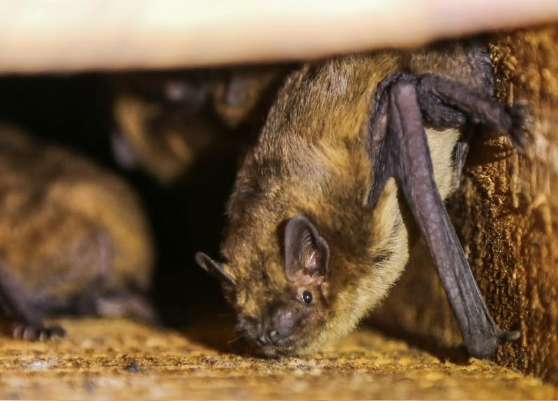 Farmers told to beware of bats in farm buildings when renovating
