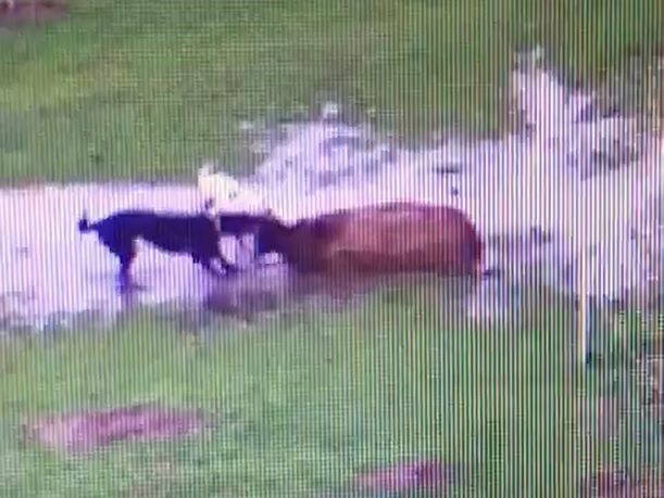 CCTV catches dogs attacking and killing pregnant ewe in North Yorkshire