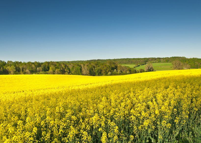 New research warns of resistance gene at risk in oilseed rape