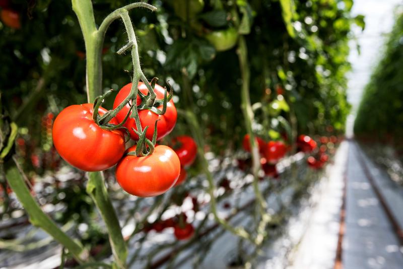 Growers create new tomato type following four-year trial