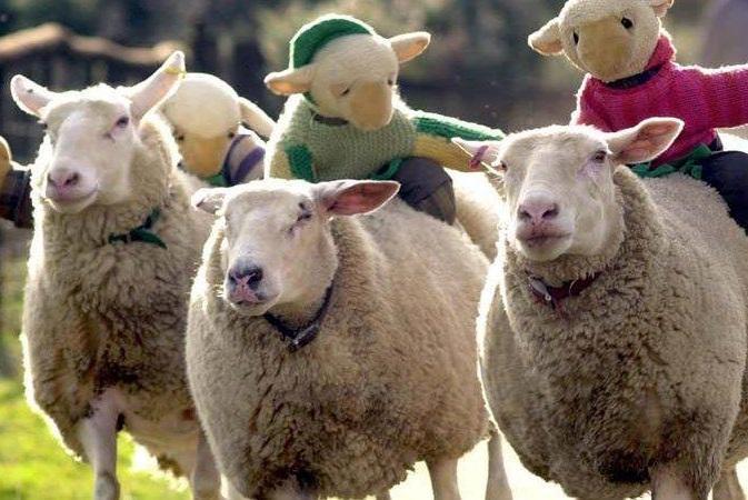 Annual sheep race re-opens despite vegan pressure to close it