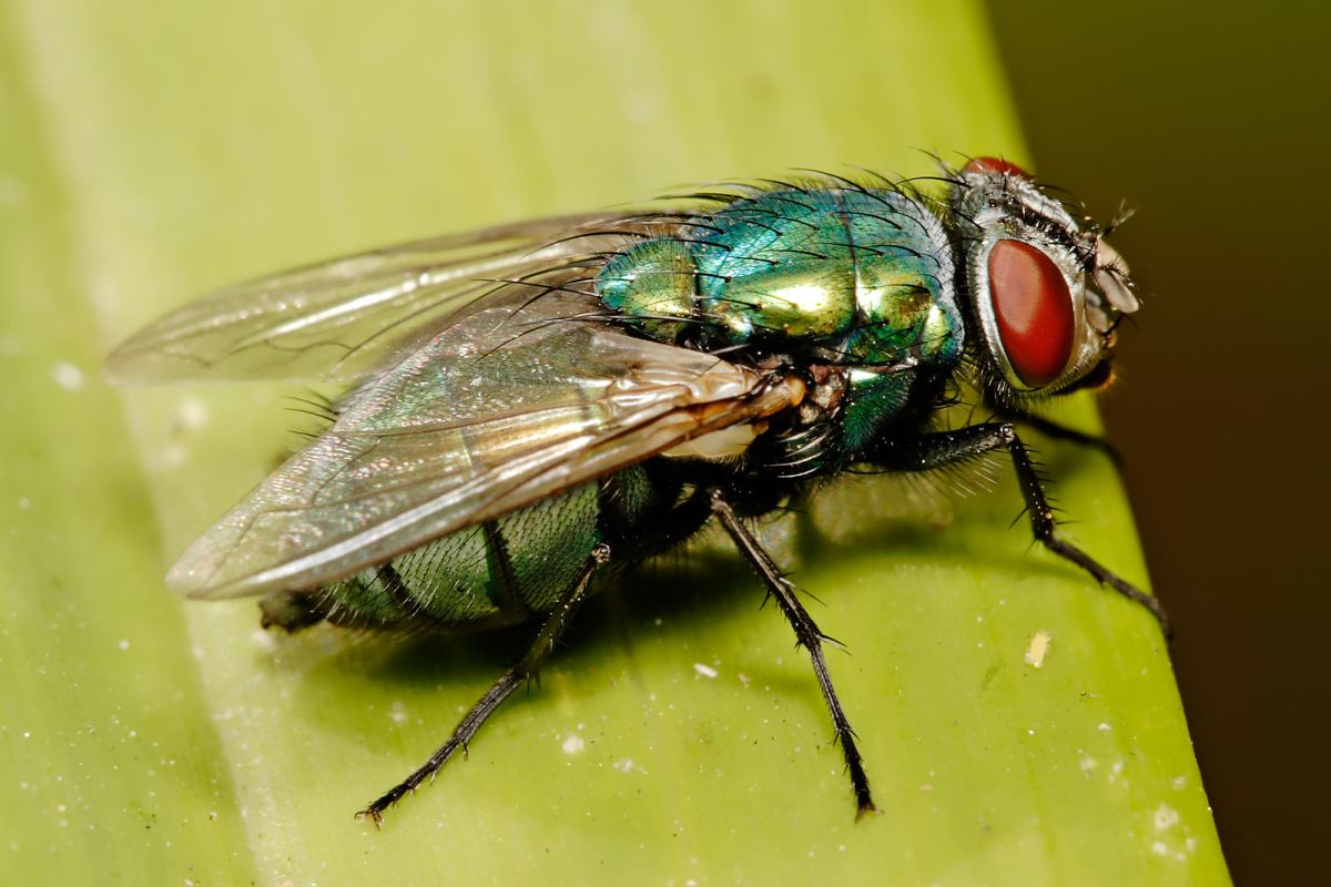 With spring well underway and temperatures rising, sheep farmers are reporting first cases of blowfly strike