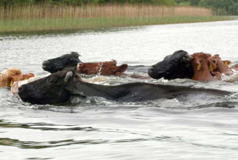 Swimming cattle complete annual pilgrimage at National Trust site