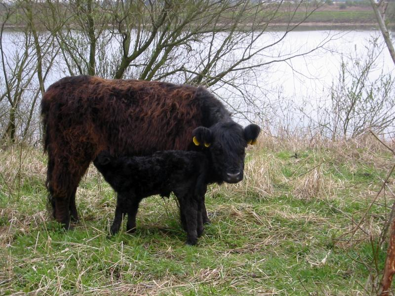 Quality assurance scheme to protect and recognise Galloway cattle breed