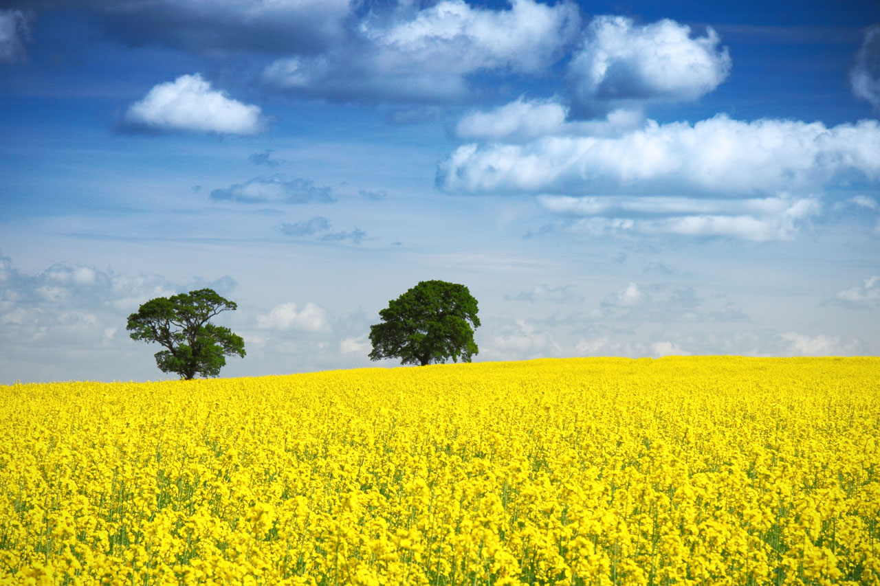 Oilseed rape area increases for first time in seven years, by 9 percent