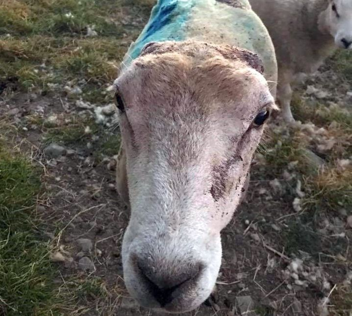 Police appeal for information after sheep's ears sliced off in senseless attack