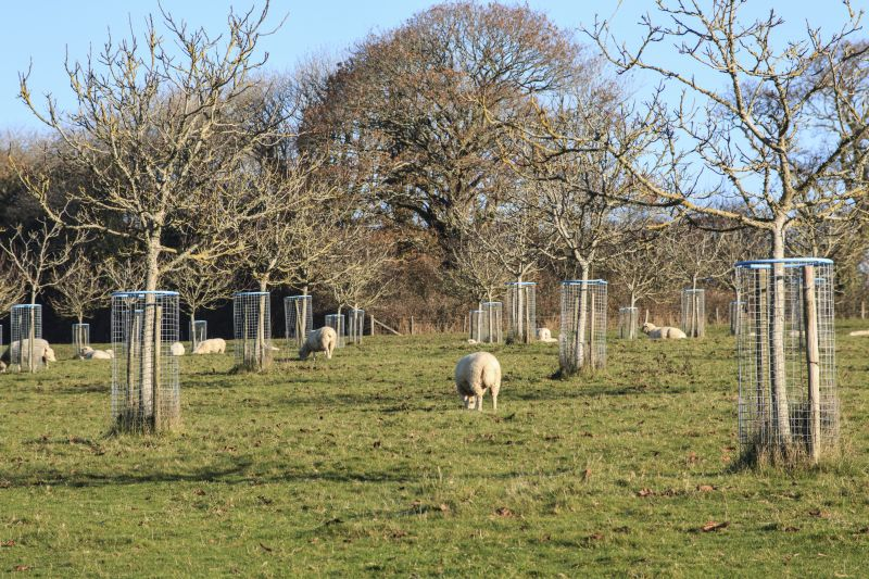 Farmers and Woodland Trust highlight role of trees within sheep farming