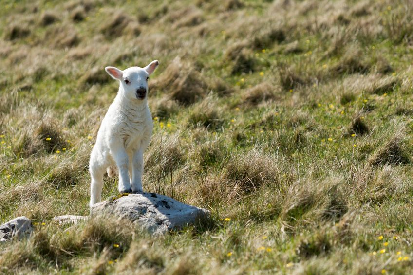 New £200,000 fund to promote Scotch lamb 'great boost' for farmers