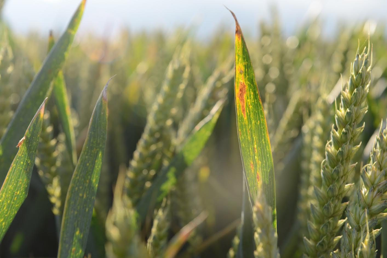 £60k investment to improve understanding of major crop disease