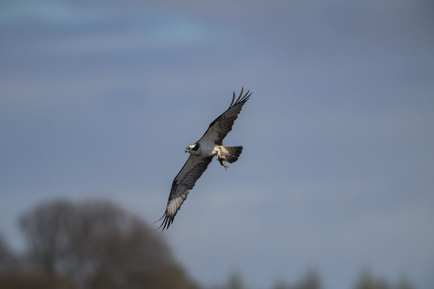 Farmer found guilty of intentionally disturbing nest of ospreys