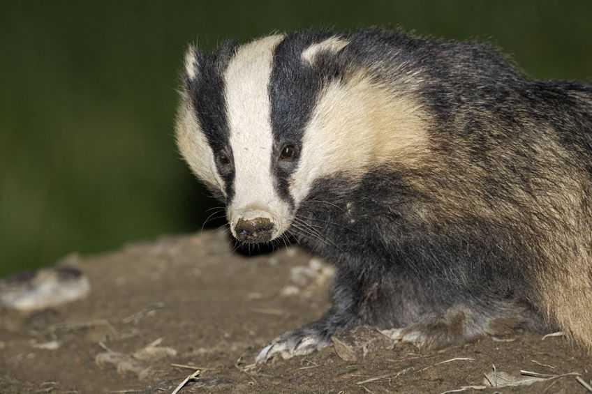 Welsh farmers slam 'painfully slow' progress on tackling bTB in wildlife