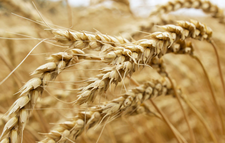 Wheat genome finally sequenced in bid to help meet future food demand