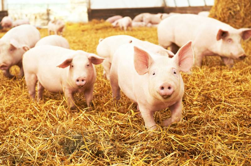 Farmers reminded not to feed food waste to pigs following ASF in China