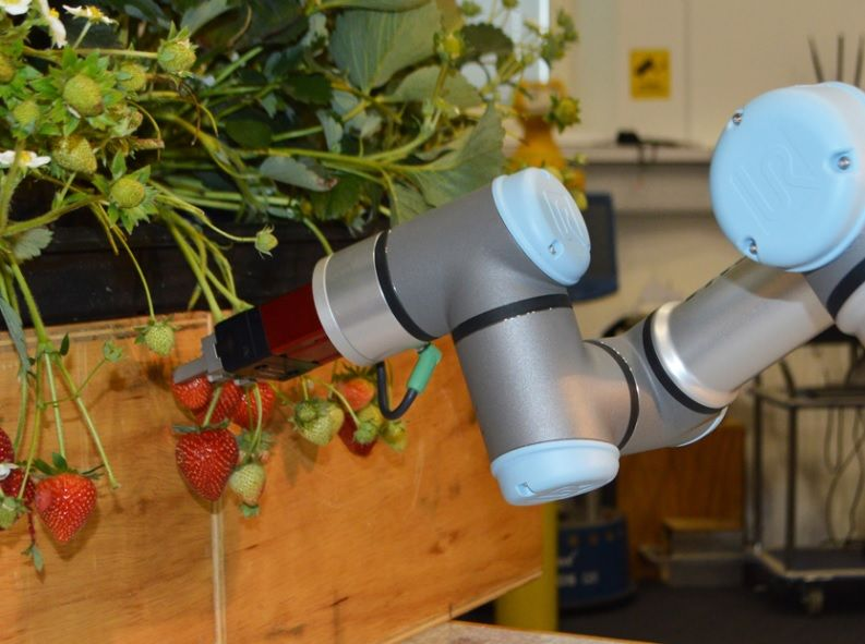 Robotic experts work with jam makers to look at new ways of picking fruit