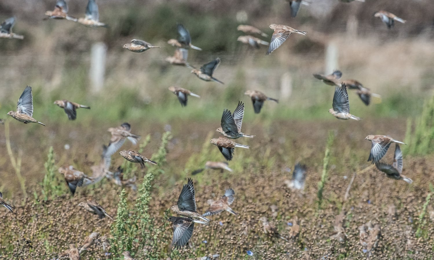 Linnets feeding off the linseed left following the harvest on the Vile (Photo: National Trust)