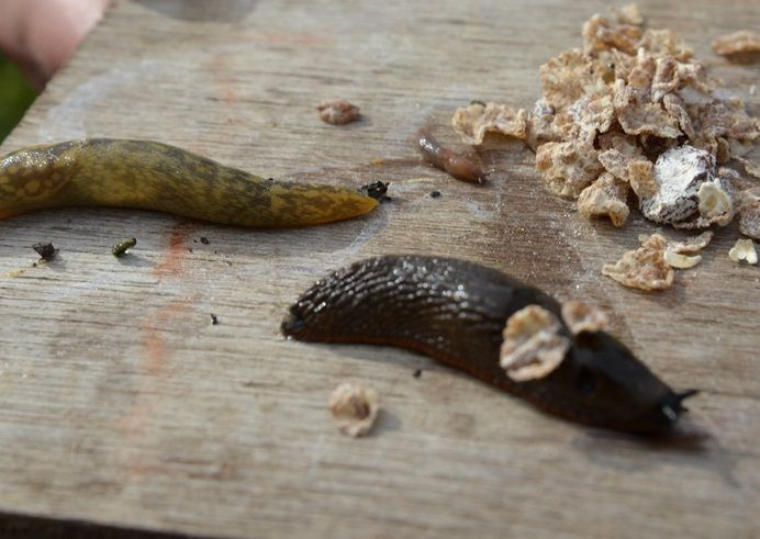 Swiss-style muesli is the best bait to use in slug traps, according to crop experts