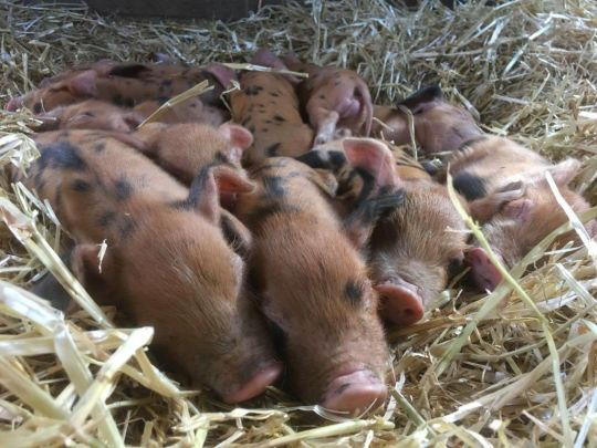 Piglets stolen from London-based farm 'may not survive unless returned'