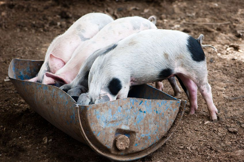 Pig keepers urged to avoid feeding food waste to their animals