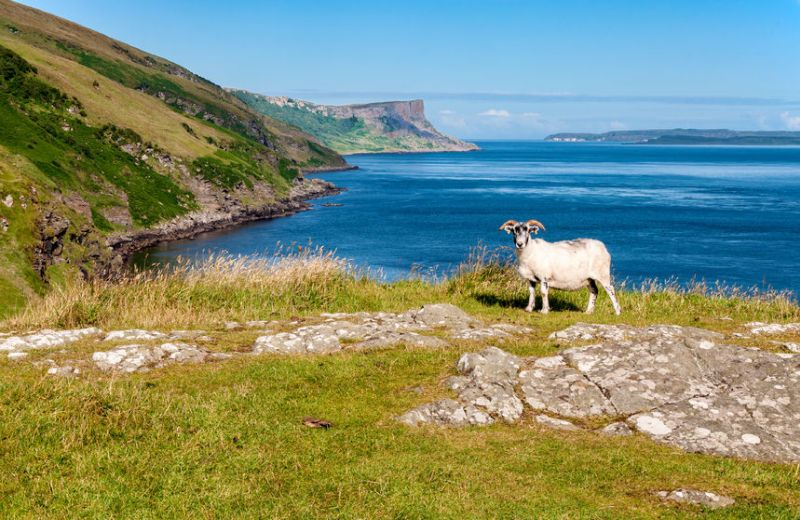 Sheep near cliffs on the northern coast of Antrim County in Northern Ireland