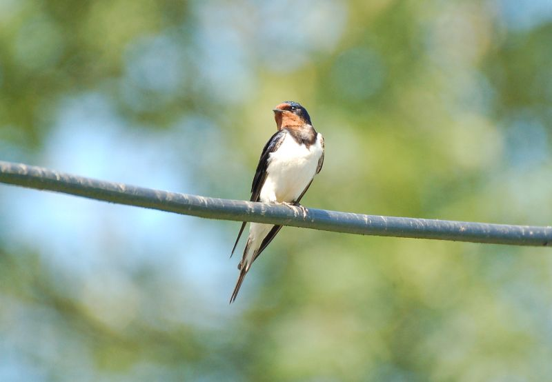 Wildflowers on farmland could be key in reversing swallow declines