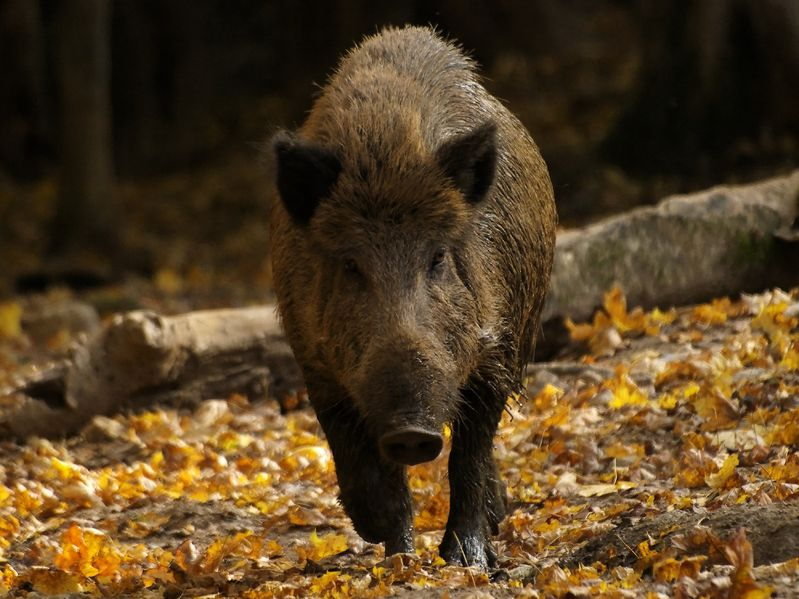 28 wild boar diagnosed with swine fever inside Belgium's Infected Zone