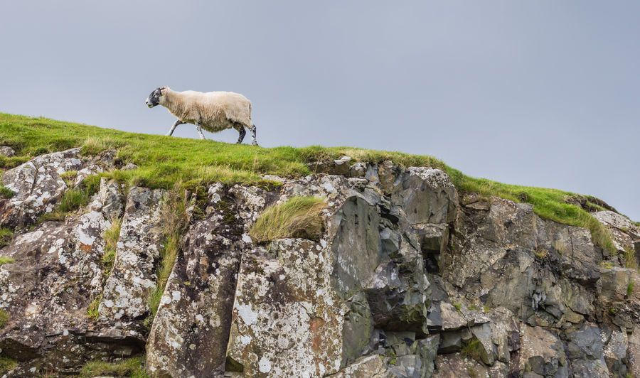 Scottish sheep numbers down five year low due to poor weather