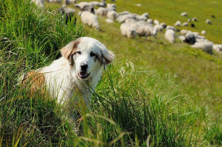 A Dog Control Notice is issued to somebody whose dog has been found to be 'out of control' near livestock
