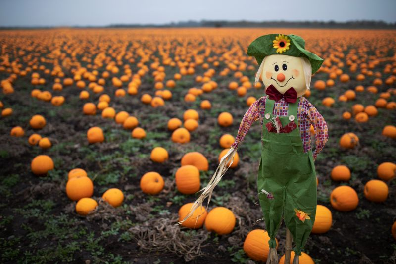 Farmers go 'lo-fi' for Halloween with 1.6m pumpkins harvested