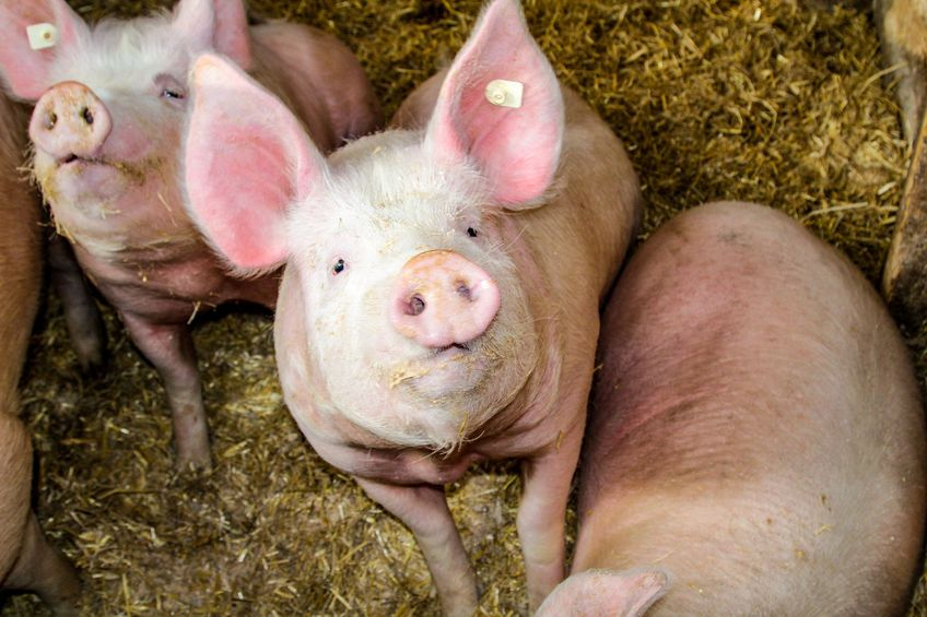 Two sows had to be euthanised by a veterinary surgeon on Mr Agnew's farm