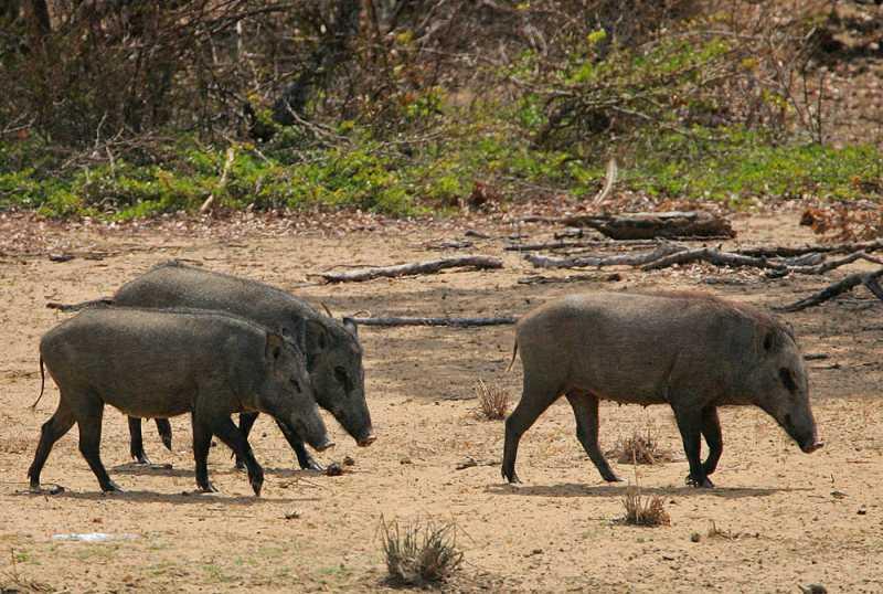 Belgian authorities planning wild boar cull
