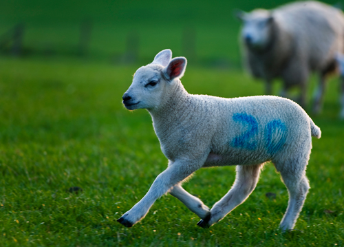 TecTracer uses raddles to ingrain thousands of coded markers into a sheep's fleece